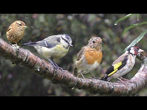 Birds in The Summer Rain : Calming Beautiful Birds with Bird Sounds & Song - Oiseaux Sous la Pluie