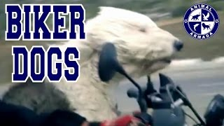 Biker Dogs - Dogs Riding on Motorcycles and Sidecars Compilation