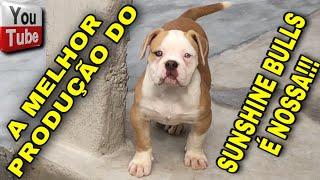 🔥COMPRAMOS A MELHOR PRODUÇÃO DO SUNSHINE BULLS INBREEDING DO NEW IRON @canilmontedossoares