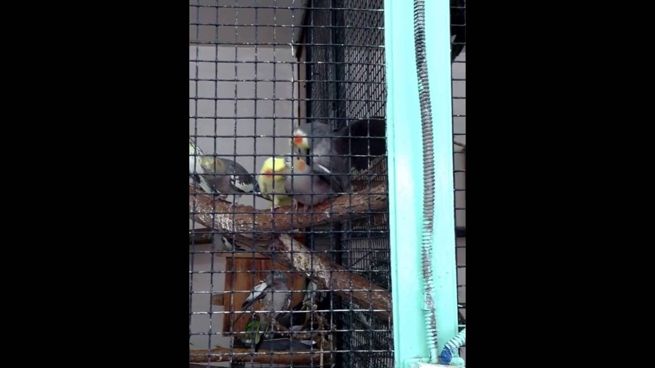Попугаи ебутся