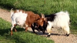 Chèvres miniatures des Tourelles - HERMES bouc toy à poils longs & LINGO bouc pie rouge !