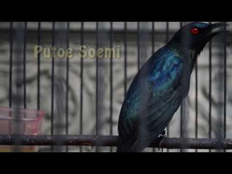 Bird Cucak keling gacor unik full 2 minutes
