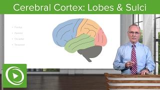 Cerebral Cortex: Lobes & Sulci – Brain & Nervous System | Lecturio
