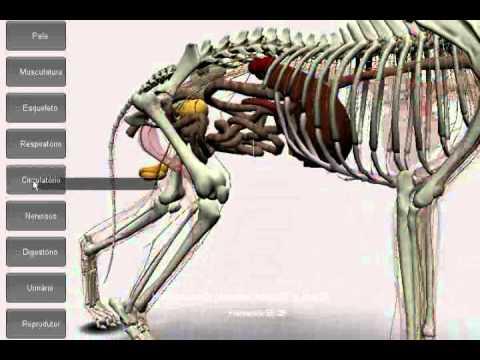 anatomia cachorro beta07 - YouTube