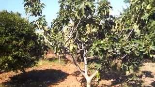 A walk Thru The Sicilian Farm: Fruit Is A Human