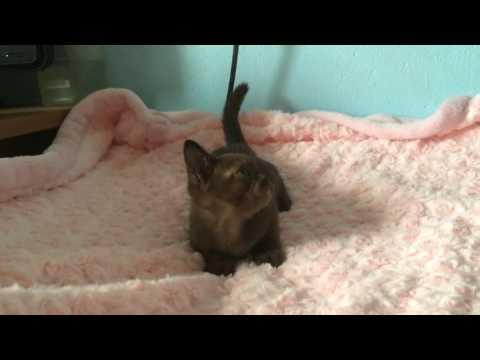 Burmese kitten ELCORAZON
