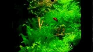 Угловой аквариум 100 литров (Corner tank) спустя 2,5 месяца(, 2013-01-10T15:34:32.000Z)