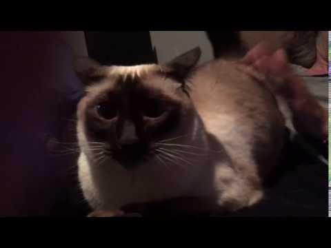 Funny Siamese Cat