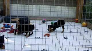 Keltic Kennels Min Pin Pups