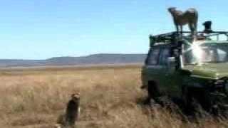 Cheetah courtship   - BBC wildlife