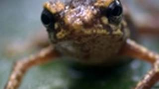 Life - Waterfall Toad Leaps from Danger | Reptiles and Amphibians