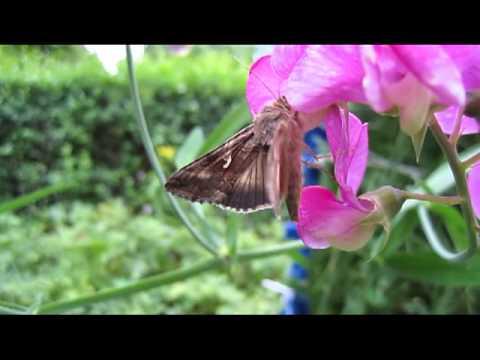 Schmetterlinge in unserem Garten - Butterflies in our garden