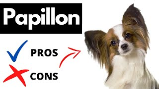 Papillon Pros And Cons | The Good AND The Bad!!