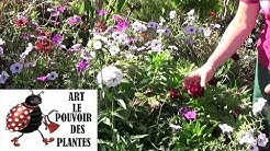 chaine de jardinage: Œillet de poète: Comment faire un semis:  Plantes vivaces méditerranéenne