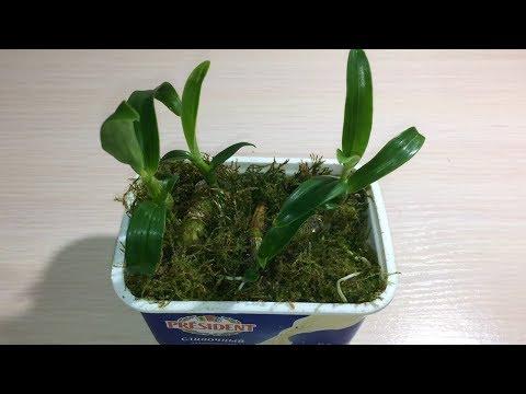 Орхидея дендробиум Нобиле. Размножение и пересадка деток дендробиума Нобиле из теплички.