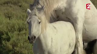 Sexe   comment fait le cheval    -  ZAPPING SAUVAGE/ wow!