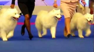 World Dog Show Samoyede Husky Wolfdog Spitz Corgi Schipperke Berger Blanc Suisse