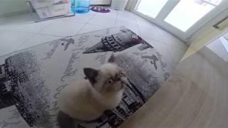 Çakır gözlü kedi MİLKA kuşların peşinde :)