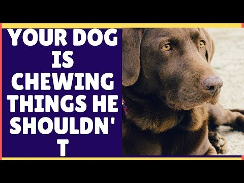 why-your-dog-is-chewing-things-he-shouldnt