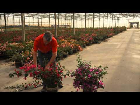 The Best Ways to Trim a Bougainvillea & Avoid Thorns : Garden Savvy