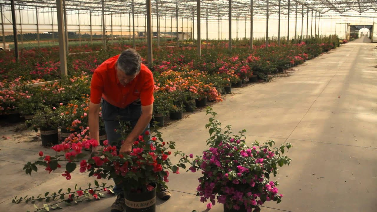 The Best Ways To Trim A Bougainvillea Avoid Thorns