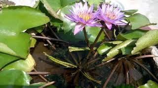 23 - Leaf se tiyar waterlily - Update Video number 11/पत्ते से वॉटर लिली को तियार करने के रिज़ल्ट