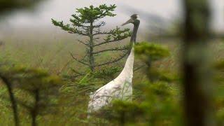 Японский журавль (Grus japonensis). Red-crowned Crane. Заповедник