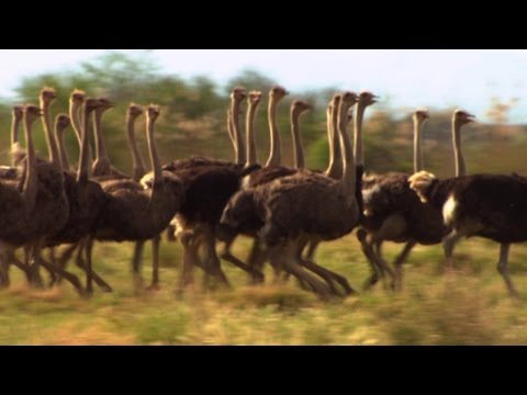 Can These Bicyclists Outrun an Ostrich?