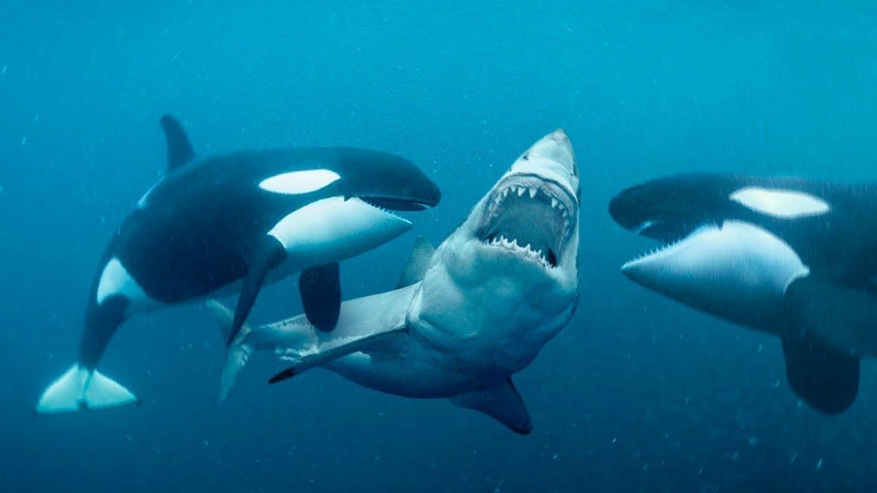 É por isso que as Baleias tem medo das Orcas