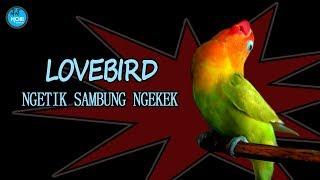 LOVEBIRD NGETIK SAMBUNG NGEKEK