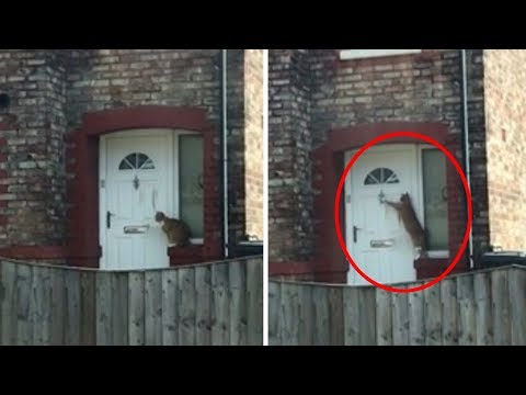 incredible Moment polite cat knocks on door to be let in