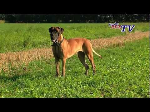Deutsche Dogge: Informationen zur Rasse