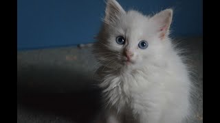 Cute Turkish Angora kitten playing with his friend