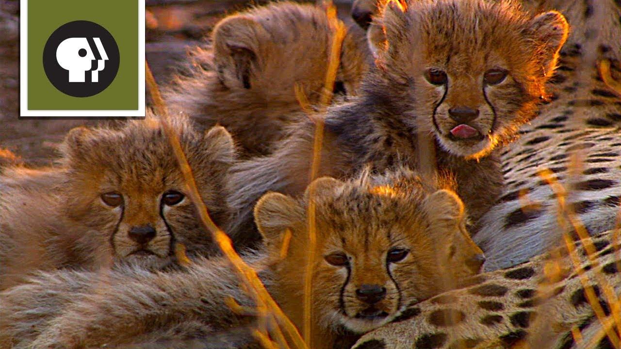 Cameraman Discovers Five Baby Cheetahs Youtube