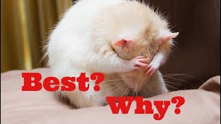 Why RATS are the BEST PETS in the world! | Wildly Indian