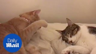 Annoying cat disturbs friend who's trying to sleep - Daily Mail