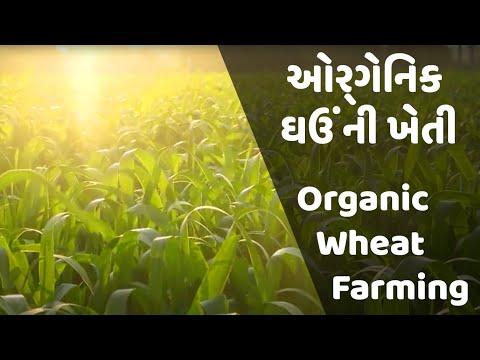 Organic Wheat Farming | ઓર્ગેનિક ઘઉંની ખેતી | #Winterseries | THE RURAL WEB | TRW