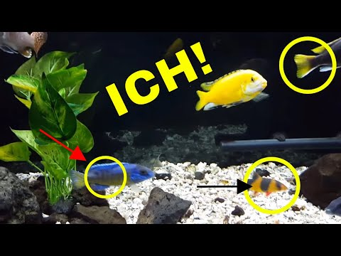 My Tropical Fish, African Cichlids, HAVE ICH! (Ick) - How I Won The Battle! [THIS REALLY WORKED!]