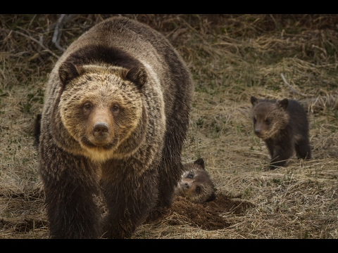 Grizzly Bear with Cubs in Yellowstone National Park