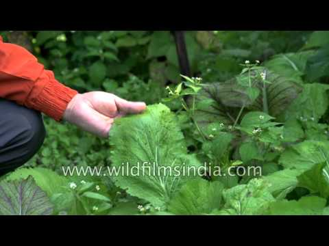 Organic Long beans and Rai growing in Sikkim home stay garden