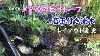 【メダカのビオトープ】流木に苔玉レイアウト Added moss ball and driftwood to the medaka biotope.