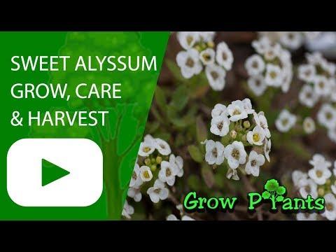 Sweet alyssum - grow, harvest & eat (Lobularia maritime)