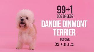 Dandie Dinmont Terrier / 99+1 Dog Breeds