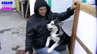 Будка для сибирской хаски / Dog house Husky 4-я часть(08/11/2014ЭКШН КАМЕРЫ Камера SJ5000 WIFI SJCAM - http://ali.pub/rw0fa Камера Xiaomi - http://ali.pub/7ztij ТОВАРЫ ДЛЯ СОБАК Упряжка для Хаски..., 2014-11-20T14:04:12.000Z)