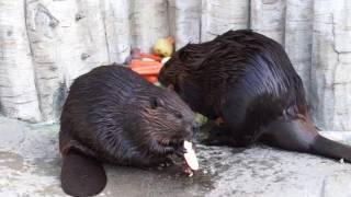 サツマイモを食べるアメリカビーバーさん達。 浜松市動物園 2016.11.17