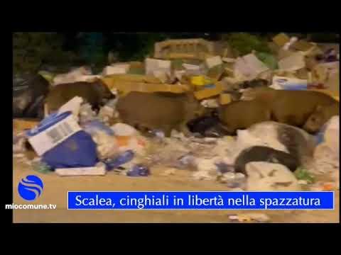 Scalea, cinghiali frugano nella spazzatura (Video)