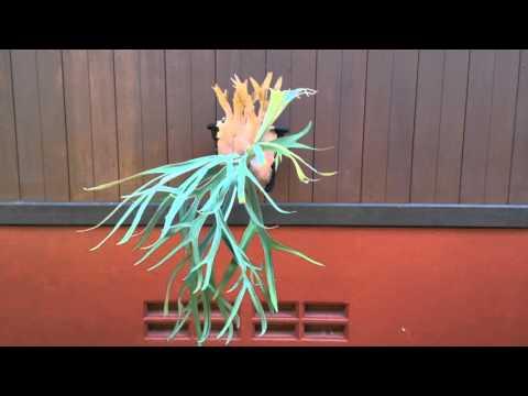 Platycerium - Staghorn fern - Elkhorn - 鹿角蕨
