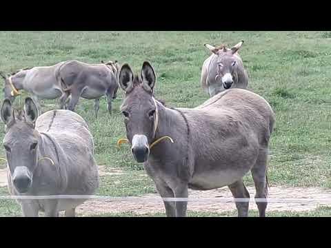 Livestock Guardians: the Donkey