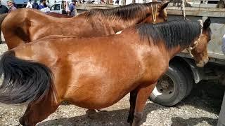 Рынок Лошадей Чечня. Субботний базар Курчалой 25.05.19