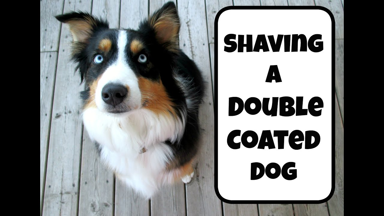 Should You Shave A Dog Breed With A Double Coat Life With Aspen